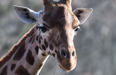 Egy zsiráf kivágott szívével pózolt a Facebookon egy trófeavadász nő
