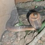 Befogták az öt napja bujkáló kobrát Németországban