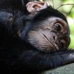 Csont nő a csimpánzok szívében, és lehet, hogy ez az embereknél is előfordul