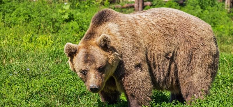 Kilövési engedélyt adtak ki Olaszországban egy emberekre támadó medvére
