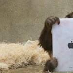 A nap videója – iPadet használnak a majmok az állatkertben