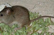 A klímaváltozástól halt ki egy ausztrál rágcsálóféle
