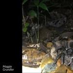 Oposszumot elejtő tarantulát videóztak a perui esőerdőben