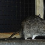 Patkányok Miskolc utcáin