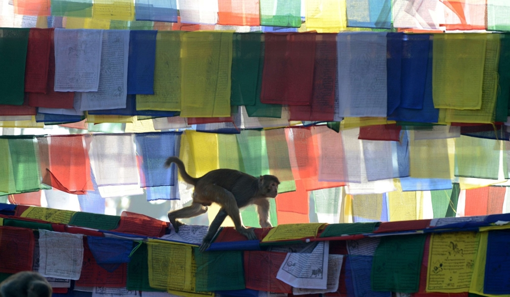 afp. hét képei - Kathmandu, Nepál, 2014.02.04. majom, imazászló, A monkey walks over prayer flags at the Saraswati temple on the occasion of Basanta Panchami in Kathmandu on February 4, 2014.  Basanta Panchami is a Hindu festival which marks the arrival o