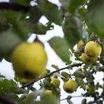 Gyümölcsökbe rejtett varrótűktől rettegnek az ausztrálok