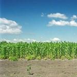 71 hektáron semmisítettek meg génmódosított kukoricát
