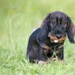 Kutyakölykökbe operálva csempészett heroint egy állatorvos