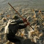 Tiltanák a horgászoknak a kifogott hal eladását