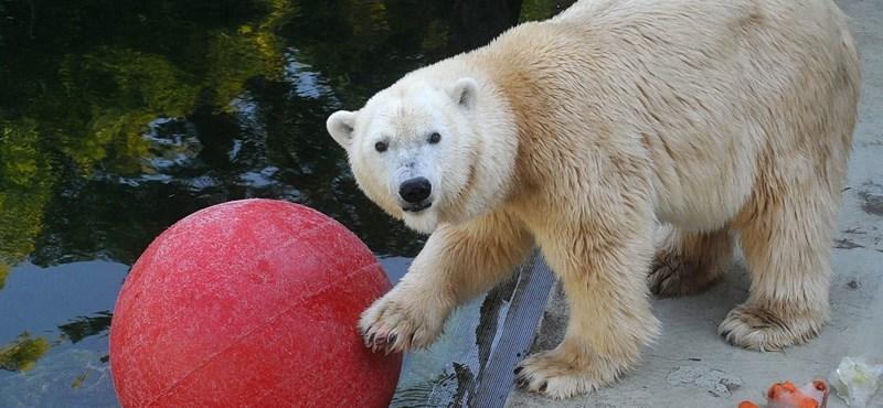 Már 600 ezer éve élnek jegesmedvék a Földön