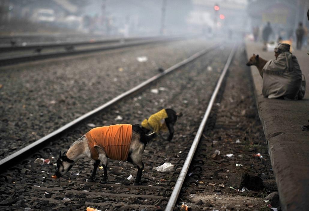 Nagyításgaléria - Hajléktalan indiai férfi ül kecskéivel a Sziliguri pályaudvaron.