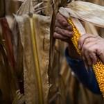142 diákot vittek orvoshoz kukoricacímerezés után