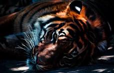 Benyúlt a rácson, hogy megsimogassa a tigrist, majdnem elvesztette a karját