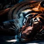 Párt kapott a veszélyeztetett tigris a londoni állatkertben, de az inkább megölte