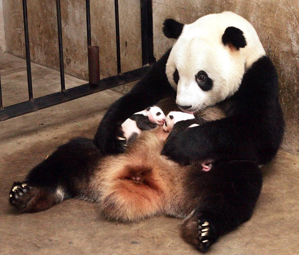 Lou Seng  óriáspanda-mama hasán két bocsa pihen a ritka állatokat tenyésztő és kutató Sanhszi tartományi központban, Csoucseben. Lou Seng augusztus 18-án hozott világra két kölyköt, amelyek egészségesen fejlődnek.