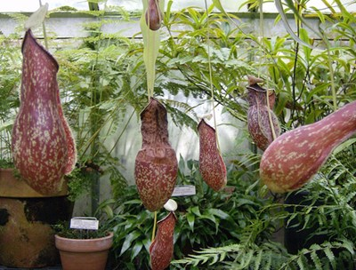 csodanövények