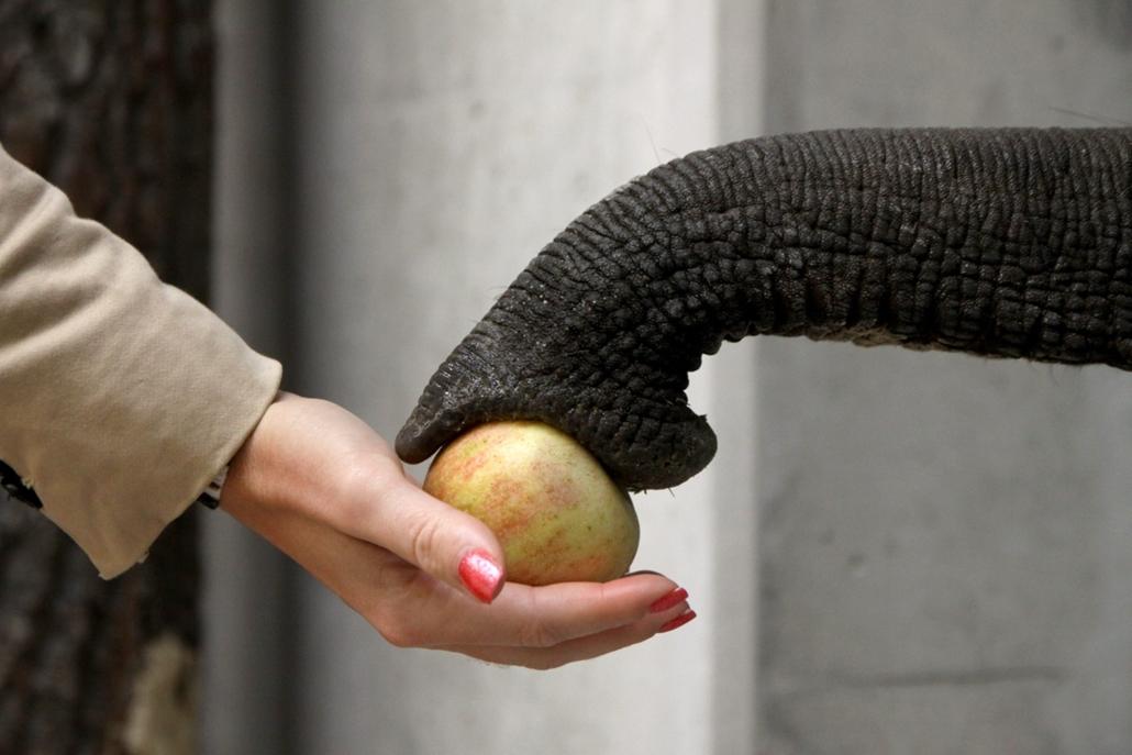 mti.14.09.24. - Veszprém: almával kínálják Félixet, a Veszprémi Állatkert három új ázsiai elefántbikájának egyikét az állatkert elefántházában