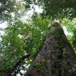 Egy 81,5 méteres fát találtak Afrikában – fotó