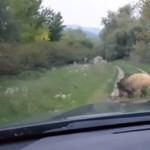 Magyar vaddisznó száguld a világhír felé – videó
