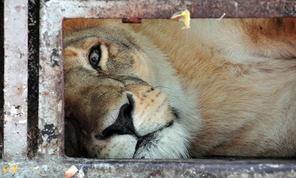 Nagyításgaléria - Egészségügyi vízum hiánya maitt kobozták el egy argentín cirkusz oroszlánjait.
