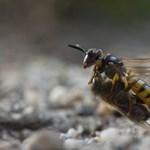 Párzás idején válnak kegyetlen gyilkossá a méhfarkasok - képek egy ragadozó magánéletéből
