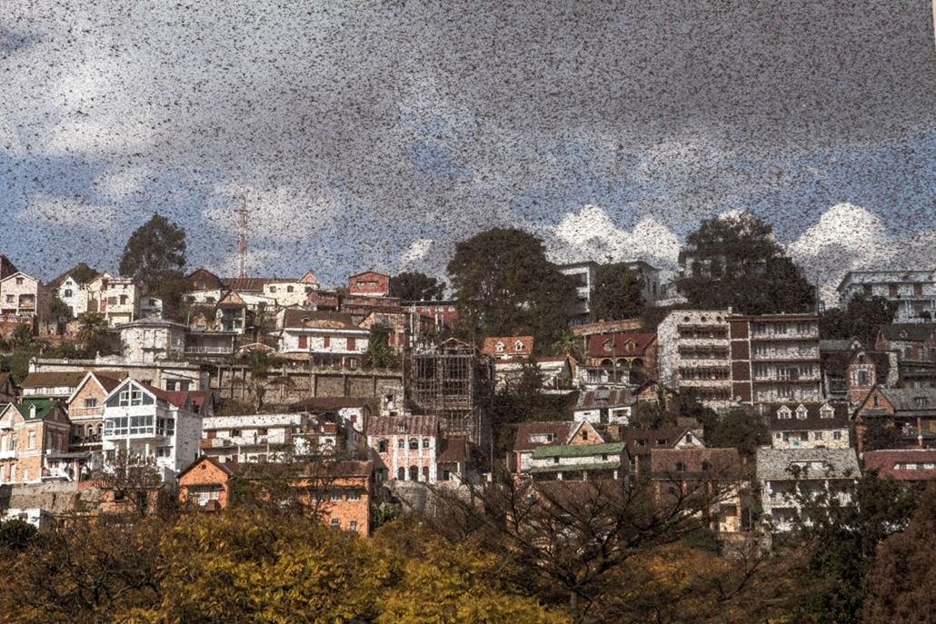 afp. hét képei - , Antananarivo, Madagaszkár , 2014.08.28. sáskajárás