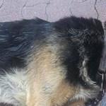 Napon hagytak egy kikötött kutyát, belepusztult