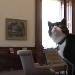 Teljes nyugalommal sétálgat az irodában a befogadott brit külügyi macska – fotó, videó