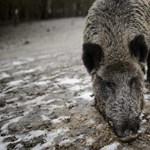 Afrikai sertéspestis: több ország kitiltotta a magyar sertéshúst