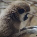 Fotó: így dőzsöltek a debreceni állatkert gibbonjai
