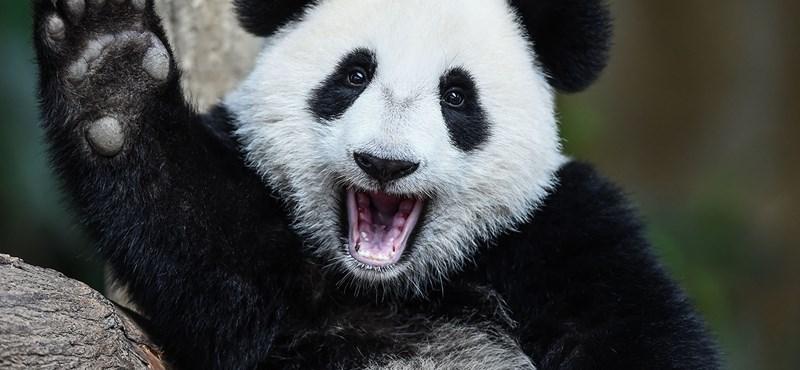 Leteperte a gondozót a kiéhezett pandabanda, még a zokniját is lehúzták