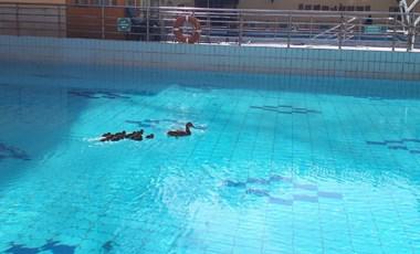 Most csak egy kacsacsalád jár úszni a Lukácsba – fotók