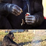 Egy majom, aki megtanult tüzet gyújtani?