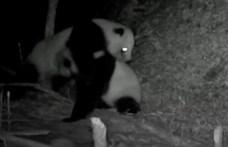 Összeverekedett két panda Szecsuanban, 17 percig gyűrték egymást - videó