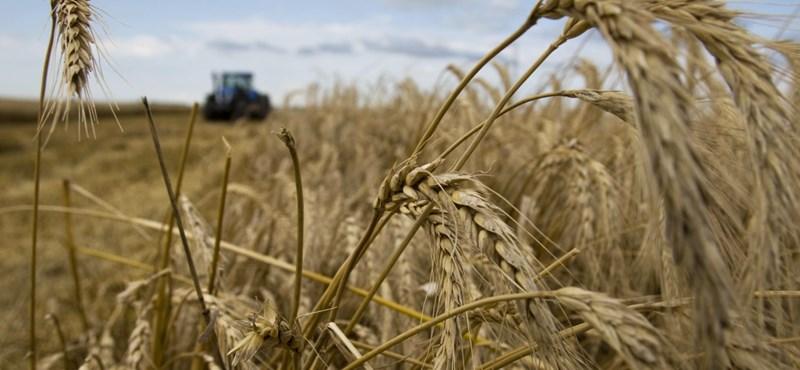 Vége az aratásnak: több volt a búza, mint ahogy várták