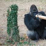 Fotók: trükközniük kell a gorilláknak Nyíregyházán