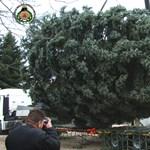 Videó: Nézze meg, hogyan döntötték le az ország karácsonyfáját!