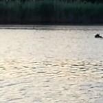 Most már biztos: medve úszott Szolnoknál a Holt-Tiszában!