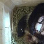 Év végi meglepetésről gondoskodtak a bécsi állatkert pandaikrei – videó