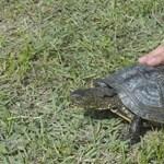 Megtelepedett a mocsári teknőc a Pilisben