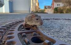 Index: Több százmilliós szerződésmódosítással kezdődhet a budapesti patkányirtás, ha még nem késő