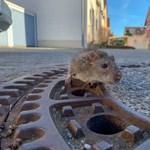 Nincs patkányhelyzet – mondta a főpolgármester-helyettes, miután patkányirtást rendeltek el