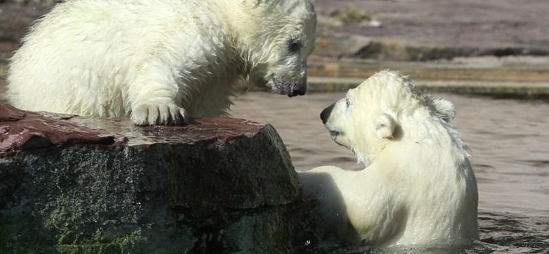 Ha olvad a jég, pusztulnak a medvebocsok