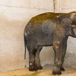 Új elefántfiú érkezett Szegedre
