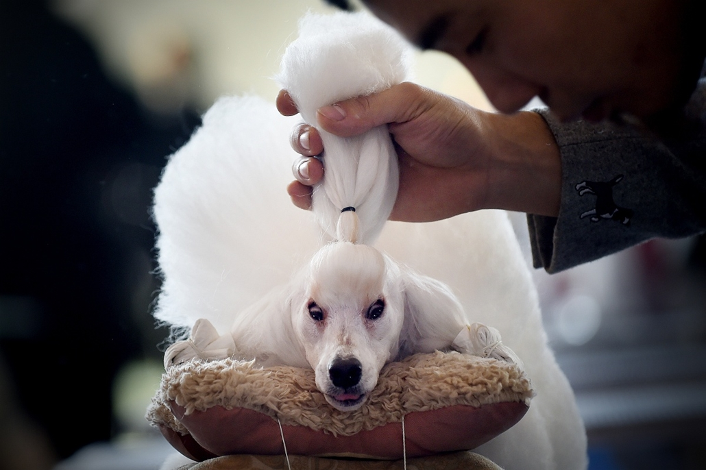 afp. 2014. állatos nagyítás 2014.11.17. Kína, Peking,  kutyafrizura, A man grooms his mini poodle after competition at the 2014 China International Pet Show in Beijing on November 17, 2014. The China International Pet Show (CIPS) will take place from Nove