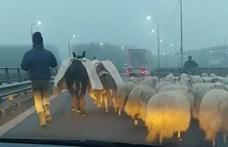 Az autópálya hídján terelt át egy román juhász több száz birkát – videó