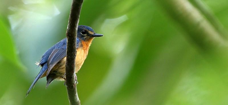 Az elmúlt száz év legnagyobb felfedezését tették a madárkutatók Indonéziában