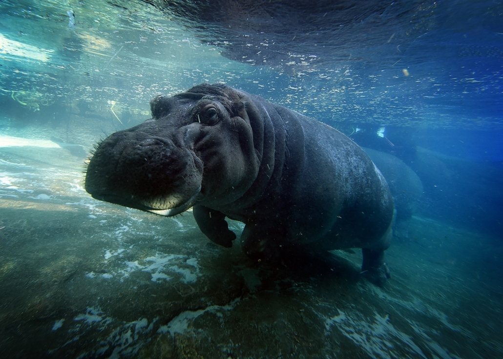afp. San Diego, Egyesült Államok, víziló, 2015.01.13. A hippopotamus also known as the common hippo swims in its enclosure at the San Diego Zoo, California on January 13, 2015. The name hippopotamus comes from the ancient Greek for river horse. Hippos can
