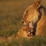 Cirkuszi oroszlánok találtak otthonra Veresegyházon