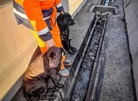 Elkóborolt kutyákat mentettek az M0-ás közepéről